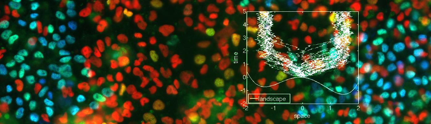 A quantitative approach to stem cell patterning